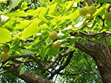 Ginkgobaum, Höhe: 70-80 cm