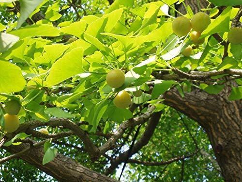 Ginkgobaum Ginkgo biloba Pflanze 70-80cm Baum des Jahrtausends Fächerblattbaum