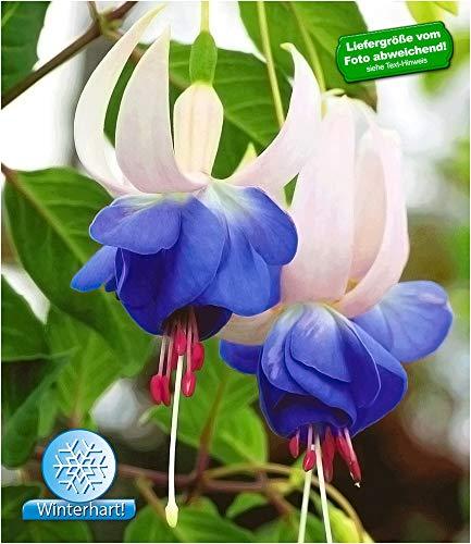 BALDUR-Garten Winterharte Fuchsien 'Blue Sarah' Gartenfuchsien Freilandfuchsien, 3 Pflanzen Fuchsia