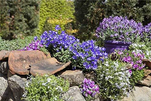 Campanula portenschlagiana Garten Polser Glockenblume Staude im Topf gewachsen (10 Stück)