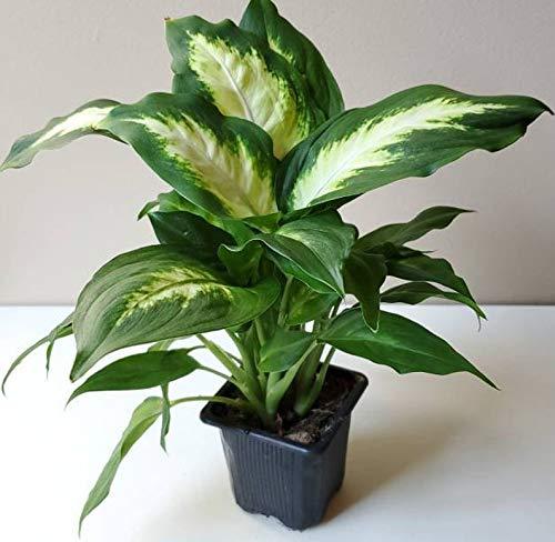 "1 Dieffenbachia maculata Camille Dumb Cane Live Plant Ships in 3"" Pot"