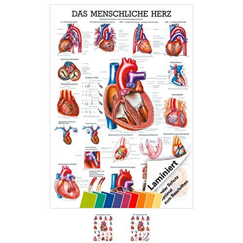 Das Herz Lehrtafel Anatomie 100x70 cm medizinische Lehrmittel