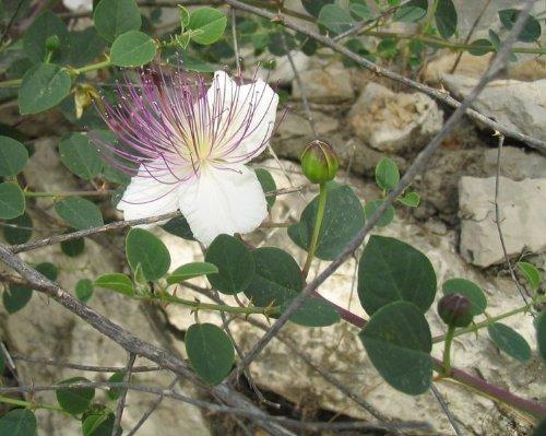 Echter Kapernstrauch 10 Samen -Capparis spinosa-