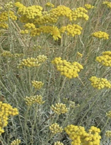 Helichrysum italicum (Curry Plant) Hardy Evergreen Sub-Shrub in 7cmpot