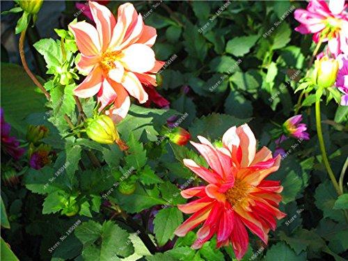 Double Dahlia Seed Mini Mary Fleurs Graines Bonsai Plante en pot bricolage jardin odorant Fleur, croissance naturelle de haute qualité 50 Pcs 22