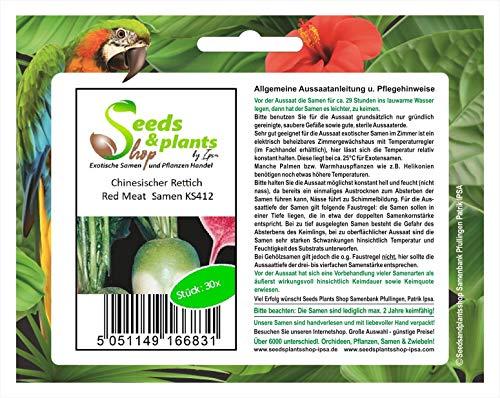Stk - 30x Chinesischer Rettich Red Meat - Samen Gemüse Garten Kräuter KS412 - Seeds Plants Shop Samenbank Pfullingen Patrik Ipsa