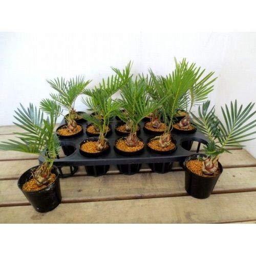プランツネット(Plants Net) 観葉植物 ソテツ 2.5号 K0104991 15入