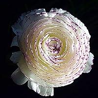 珍しい植物,カラフルでカラフル,ラナンキュラス 球根,完璧な切り花,観賞用花,多年生草本の花,お手入れが簡単,適応性強い,カラフルな開花球根-5球根