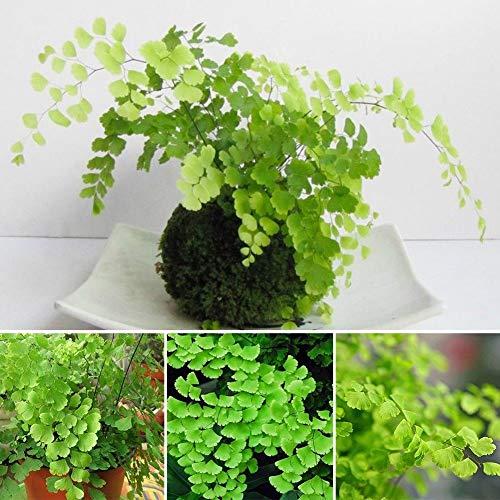 Go Garden Las semillas 100pcs helecho culantrillo las plantas de interior adiantum Capillus cultivo de bonsái