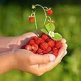Semillas de Rugia Wild Strawberry - Fragaria vesca