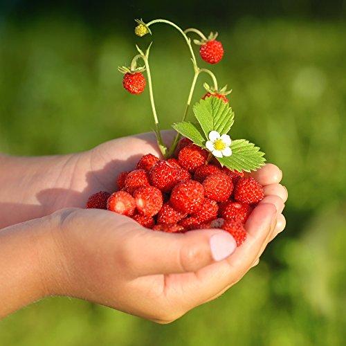 Wild Strawberry Rugia Samen - Wald-Erdbeere