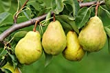 Alick 20 piezas BARTLETT PEAR (Pyrus Communis) Semillas de frutas