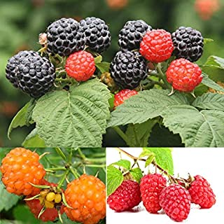 100Pcs Rare Raspberry//BlackBerry//Strawberry//Kiwi Seed Nutritious Fruits Bonsai Non-GMO Ornamental Plants Seeds Yard Home Decoration LOadSEcrs Garden BlackBerry Seeds