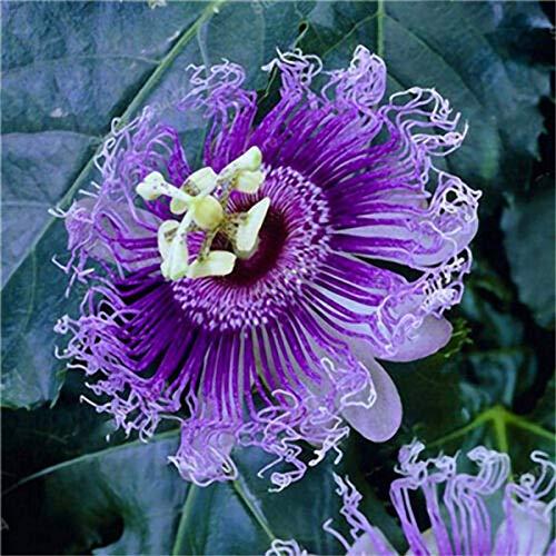 puran Lot de 100 graines de passiflore Incarnata - Petites et faciles à planter - Graines de passiflore incarnata - Idéales pour les conteneurs - Graines de fleurs de passion