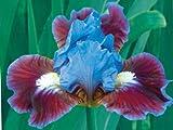 Bearded Iris Assorted Colors Elegant Mix, Root, Bulb, Plant. Flowering Rhizome, SeedsBulbsPlants&More