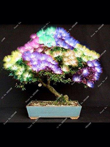 10 pièces bonsaï Albizia graines de fleurs appelées Mimosa arbre de soie, fleurs ornementales graines faciliter la culture