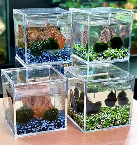 Coppia di Alga Marimo Chladophora Aegagropila in cubo di plexiglass 10x10cm con ghiaino decorativo e roccia