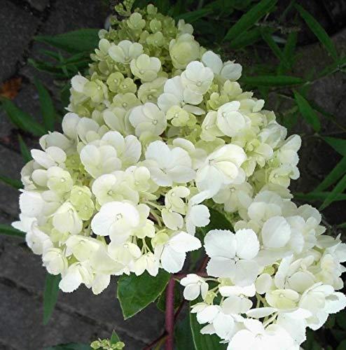 Rispenhortensie Vanilla Fraise Hydrangea...