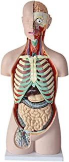 85CM 17 Part Human Torso Anatomical Model Human Organs Visceral Model Trunk Anatomy Model