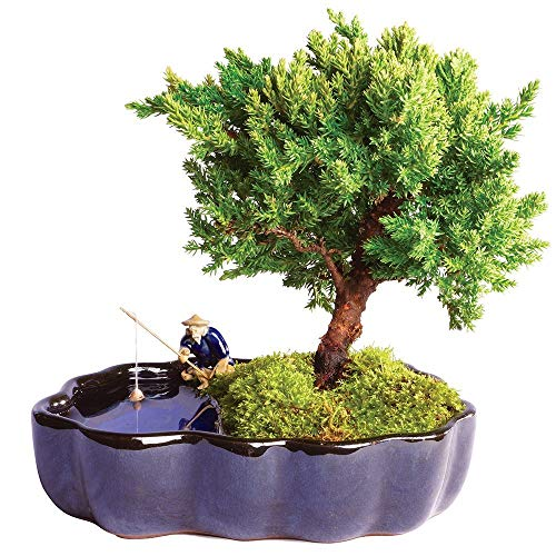 Brussel's Bonsai Live Green Mound Juniper Outdoor Bonsai Tree in Zen Reflections Pot-3 Years Old 6' to 8' Tall-Not Sold in California