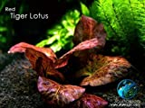 LUFFY RED Tiger Lotus Bulb: Grow an Auburn Beauty in Your Aquarium Landscape.