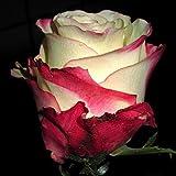 Aimado Seeds Garden - rare 100pcs graines de rosier multicolor graines fleurs graine jardin La rose(Rosa) Le rosier résistant au froid