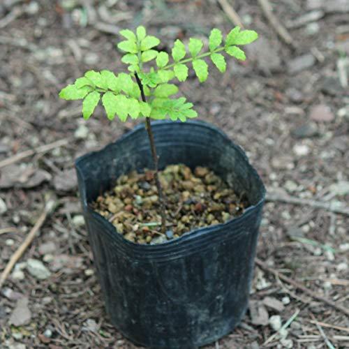 【紫桜館山の花屋】樹木:サンショウ (山椒) 9cmポット雄雌選別前の幼苗