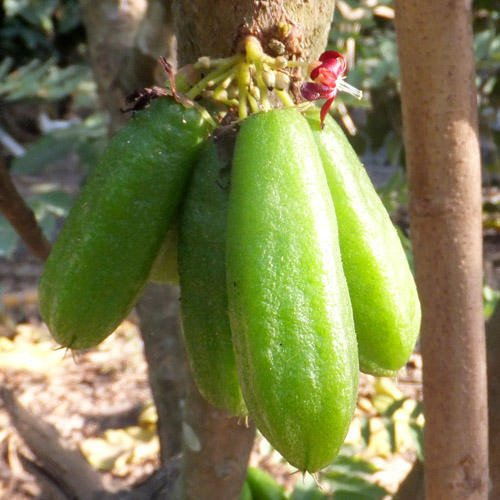 Plant World Seeds - Cucumber Tree Seeds