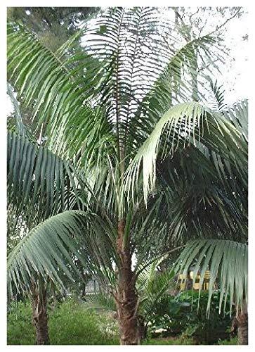 TROPICA - Kentiapalme (Howea forsteriana) - 3 Samen