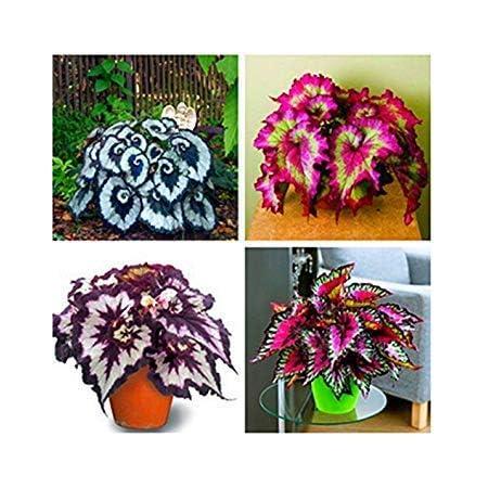 AGROBITS des graines 100PCS 4 Sac d/écoration bonsa/ï arbuste /à Feuilles caduques de Jardin Familial Plantes dint/érieur et dext/érieur Jardin des Plantes en Pot