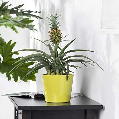 Pflanzen Kölle Zier-Ananas, Ananas comosus 'Amigo', Gesamthöhe ca. 45 cm