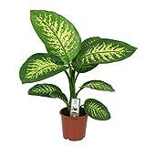 Dieffenbachia Seguine'Tropic Snow' | Plante tropicale d'intérieur | Hauteur 65-70cm | Pot Ø 17cm