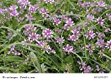 Kronwicke Coronilla varia 100 Samen
