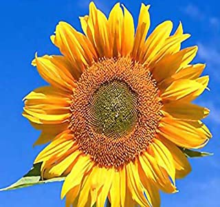 1LB (9,200+ Seeds) PEREDOVIK Sunflower Seeds - Game Birds & Deer Favorite - PLOT FOOD WILDLIFE - Non-GMO Seeds By MySeeds.Co