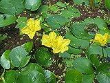 Planta de estanque y acuario Nymphoides peltata