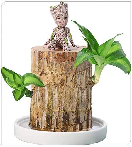 ZLKMQ Brazilwood Hydroponic Plants Groot Lucky Wood Topf, Mini Brazilian Wood Topfpflanzen, Lucky Wood Topfpflanzenstumpf für Innendekoration Saubere Luft
