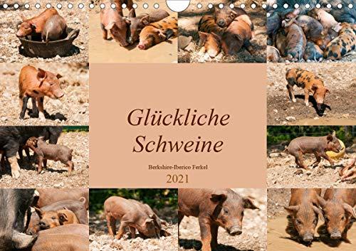 Glückliche Schweine Berkshire-Iberico Ferkel (Wandkalender 2021 DIN A4 quer)