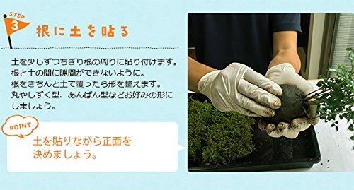 みどり屋和草『苔玉キット苗つき紅長寿梅』