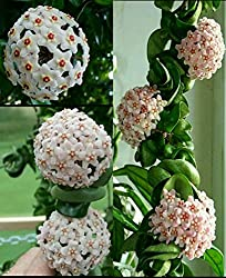 Hoya Carnosa Compacta Hindu Rope Crazy Plants For Crazy Critters
