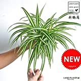 LAND PLANTS オリヅルラン 白色プラスチック鉢セット 4号サイズ Chlorophytum comosum