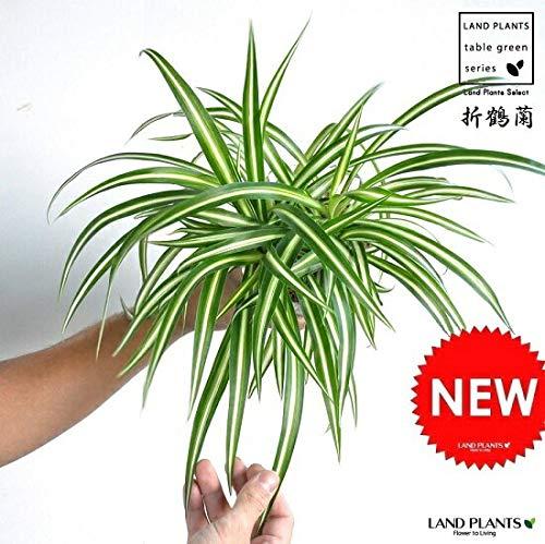 LANDPLANTS『オリヅルラン白色プラスチック鉢セット4号サイズ』