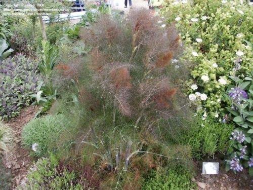 Bronze Fennel Herb Plant in a 9cm Pot. Foeniculum Vulgare Purpureum