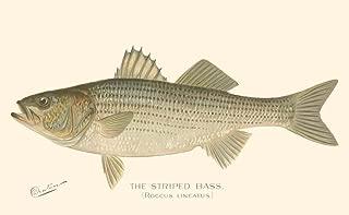 Striped Bass by Denton Art Print, 17 x 11 inches