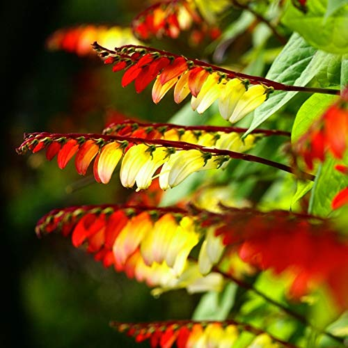 Seeds4planting - Seeds Firecracker Vine Cypress Mix Quamoclit Annual Flowers Non...