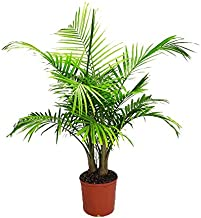 Majesty Palm - Live Palm Tree Plant - Tropical Plants of Florida - 3 Gallon Pot - Overall Height 42