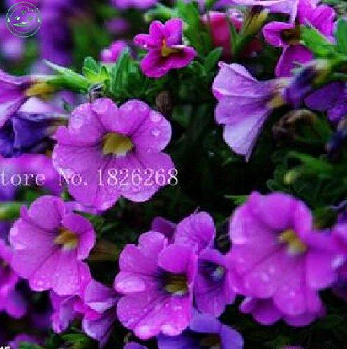 Graines de fleurs bonsaï graines de fleurs rares Violet pétunia fleur famille 200pcs Livraison gratuite balcon décoration jardin fleuri de W14