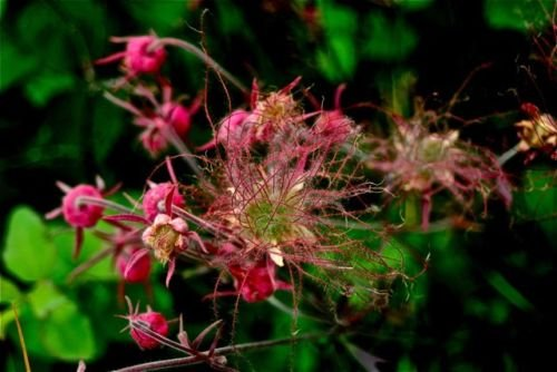 50 PRAIRIE SMOKE Geum Triflorum Purple Prairie Avens Flower Seeds *Comb S//H