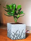 Material & Qty: Natural Live Plant in Finest Quality Glossy Ceramic Pot, Qty: 1 (Plant with Pot), Quality Checked Plant comes ready potted in nutrient enhanced unique potting mix which requires less watering which in turn increases overall plant shel...