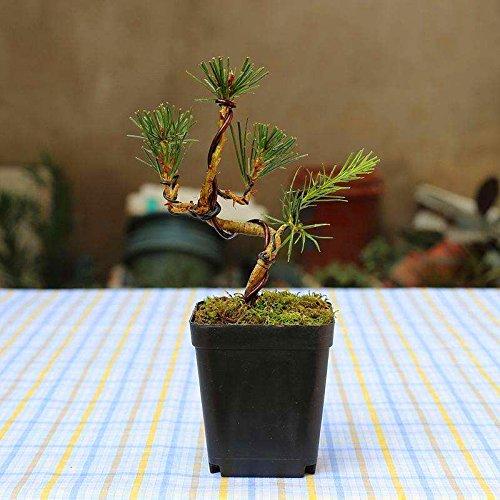 20 pcs/sac Graines de pin noir vert graines de bonsaï Pinus thunbergii plantes Parl pour les plantes ligneuses vivaces droites de jardin à la maison 1