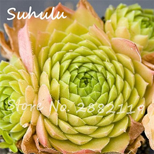 Pas cher 150 Pcs Mini Garden Succulentes Cactus Graines Variées Plantes vivaces Sempervivum Incroyable Maison Poireaux Cultivez Live Forever facile 18